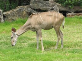 Female Kudu - Little Rock Zoo by ladybeastcharmer