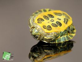Tortoise VII by janahi-photography