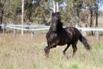 HH Andalusian Black trot in grass by Chunga-Stock
