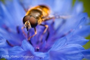 Eristalis nemorum - update by cRomoZone
