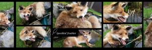 Red Fox Vixen: Soft Mount Taxidermy by Speckled-Feather