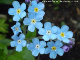 Happy Forget me nots Day by Tiofrean