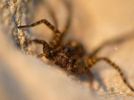 Beautiful Wolf Spider by TheFunnySpider
