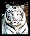 White tiger by anachemical