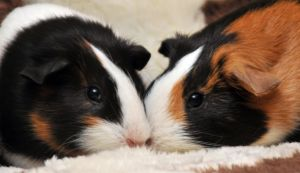 CPR Guinea Pigs XXIV by LDFranklin