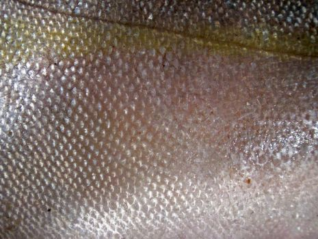 Fish scales 3 by jaqx-textures
