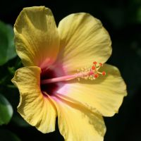 yellow hibiscus by ingeline-art