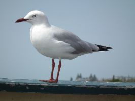 Kiama Gull by BrendanR85