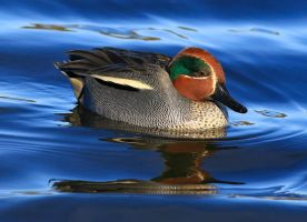 Male teal duck by NurturingNaturesGift