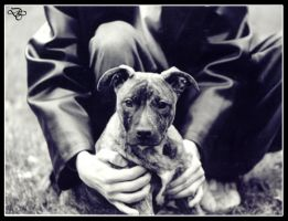 Pit Bull: Pitbull and Leather by dogs