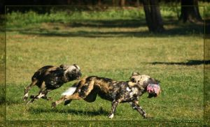 African Wild Dog's Feed Time by 1the1