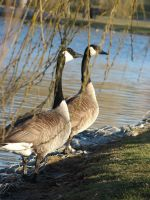 Canadian Geese3 by Dreamweaver38