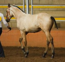 STOCK - 2014 Andalusian Nationals-51 by fillyrox