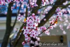 Cherry Blossoms by christi-chan