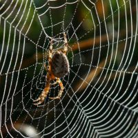 Spider Pearls II by LoneWolfPhotography