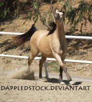Buckskin Arabian 04 by dappledstock