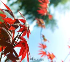 Japanese Maple II by kim-e-sens