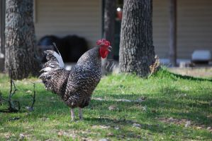 Rooster (2) by chantriera