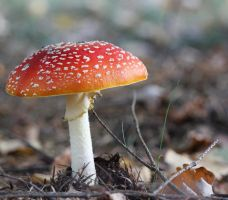 Toadstool by hundefreund