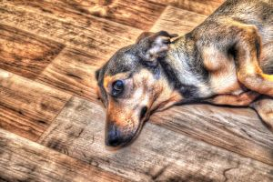 Dog HDR by FugyDesign
