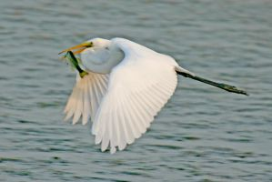 Great Egret in flight meal by Kippenwolf
