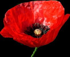 Red poppy by April-Mo