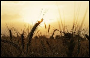 Wheat by Tantawi