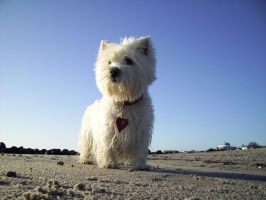 Westhighland Terrier Mona by Bull04