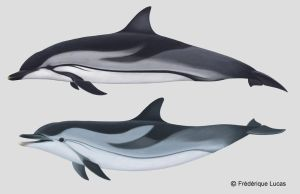 Striped dolphin - by namu-the-orca