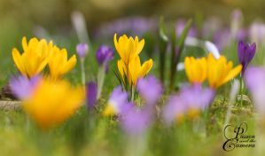 Crocuses by PassionAndTheCamera