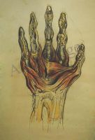 Hand Muscle by amr1514