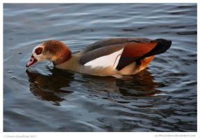 Golden Egyptian Goose by In-the-picture