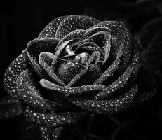 rose and pearls bw by jagerion