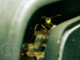 Hiding Wasp 1 by Champineography