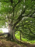 Ancient Beech by Amazonofexeter