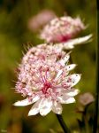 Astrantia major by Klytia70