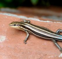 Five-lined Skink by duggiehoo