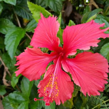Hibiscus by ReverendDave808