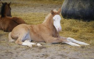 Bald faced filly 2 by Misc-Photography