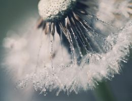 dreamy dandelion by RETROK1D