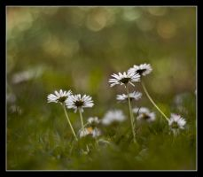 Daisies 3 by Alexandra35