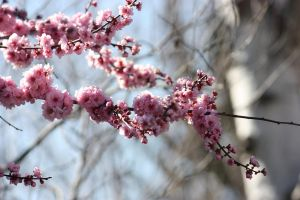 Plum Blossoms 1 by tynafish