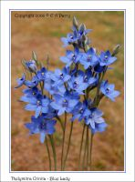 Blue Lady Sun Orchid 2 by AdamsWife