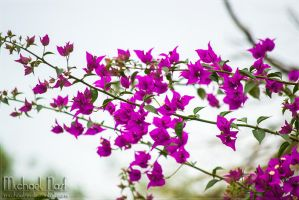 Flowers Purple  IV by MichaelNN