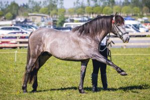 Grey Andalusian Colt by DWDStock