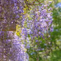 Wisteria in the art museum I by larksgar