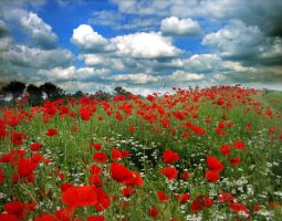 Field of Poppies - II by MD-Arts