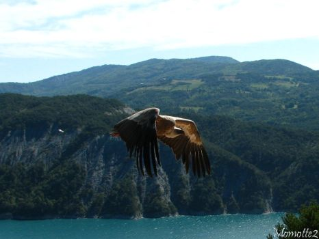 Peaceful fly of the vulture by Momotte2