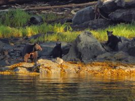 sow bear with young cubs by Glacierman54