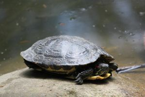 00307 - Turtle in Shell by emstock